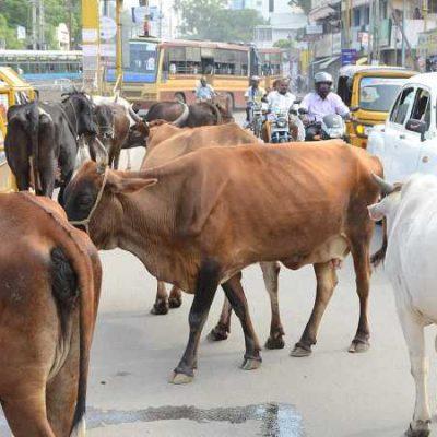 Elite Cow
